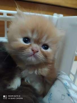Venta de hermoso gato persa