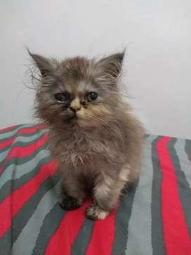 Vendo gata persa tricolor
