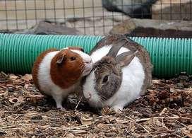 Venta de cuyes y conejos