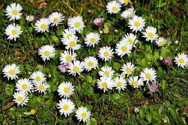 semillas de bellis planta