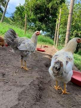 Gallo pollo criollo joven