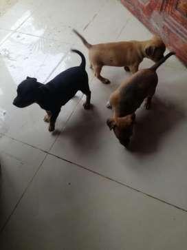 Perros Chihuahua cachorros