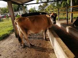Se vende lote de 7 vacas en circasia