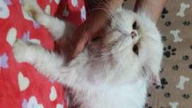 Gatos persa extremo y bengalí