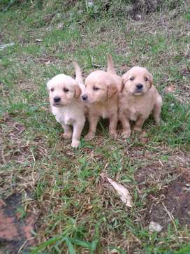 Cachorros Golden Retriber