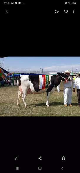 Vacas lecheras en produccion