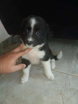 Supeer amorosa  border collie 54dias