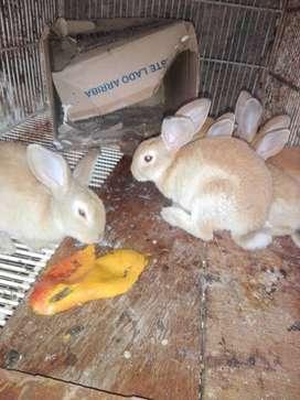 Conejos rex macho. cambio por hembra villavicencio