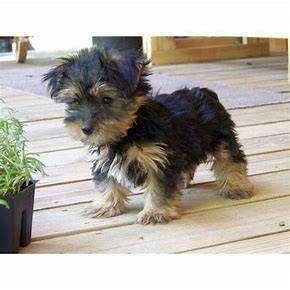 Tienda veterinaria ofrece raza yorkshire terrier listo para entrega de 50 días