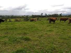 Vendo preciosas vacas lecheras