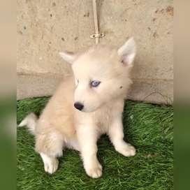 Hermoso lobo siberiano de ojos azules