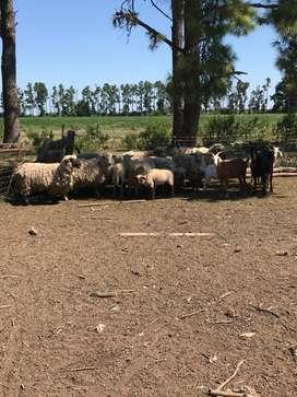 Majada de ovejas