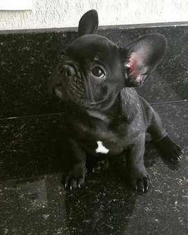 Precioso bulldog frances