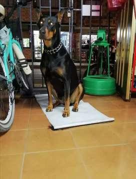Cachorros Doberman Europeo