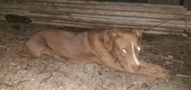 Bendo perro pitbull tiene 8meses de nacidobuena raza