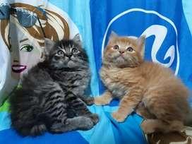 Lindos gaticos angora listos para entregar