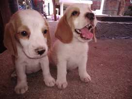 Vendo beagle tricolor macho puro
