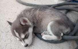 Husky busca hogar