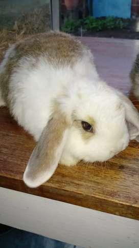 Conejos Jollan Lop.