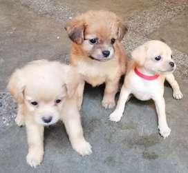 Perritos cachorros raza pekinés