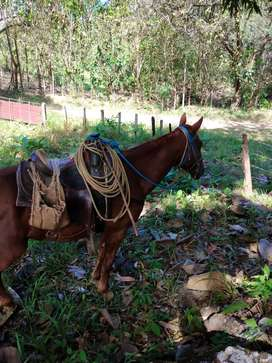 Vendo caballo 800 Negociable