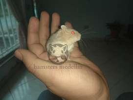 Hamster Ruso Argente 2