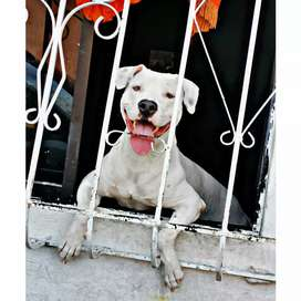 Se busca novia para pitbull dogo argentino