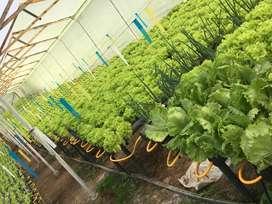 Lechuga Crespa Verde Orgánica/Hidroponica