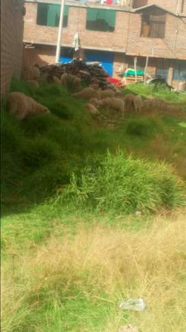 Vendo carneros parados