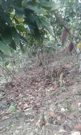 Finca Cacaotera en Bella Maria - De oportunidad, por Urgencia Económica