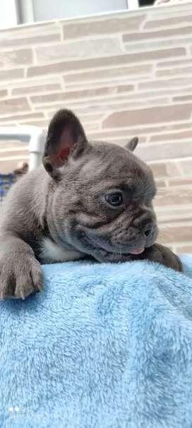 Bulldog francés blue ojos azules