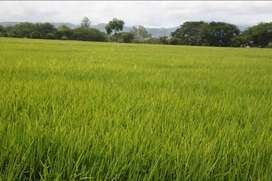 Venta de terreno de arroz 8 hectáreas y media