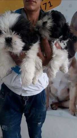 Los mejores cachorros shih tzu a la venta son puros