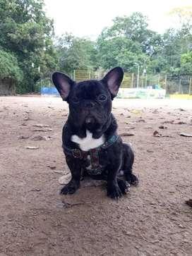 Se ofrece bulldog francés para monta muy bonito y pequeño 100% genético