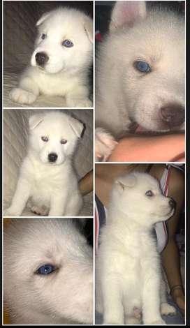 Cachorro blanco husky macho de 1 mes