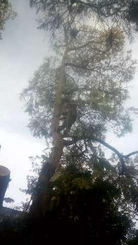 Podas de árboles