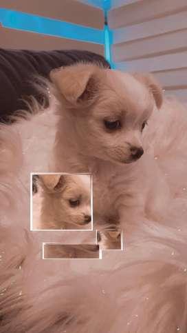 Chihuahua mscho pelo largo ultimo!