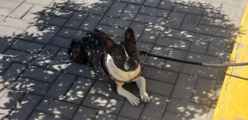 Bulldog Francés para Monta 0