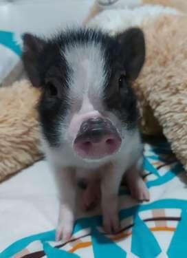 Hermana mini pig, banca con negro.