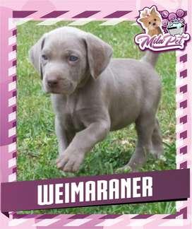Weimaraner curiosos