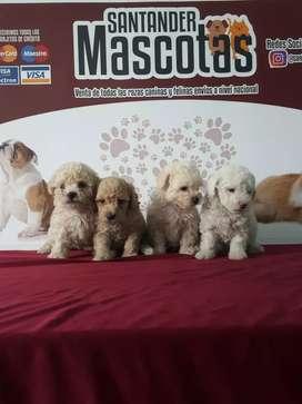 Fresh poodle minitoy fotos reales