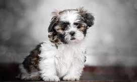 Shih tzu cachorritos de 45 días