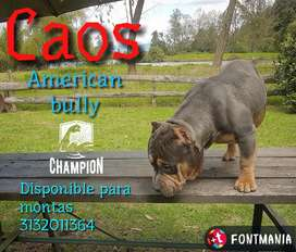 American Bully Disponible