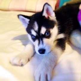 Vendo Husky Siberiano y Alaska Malamute