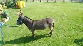Vendo burro pony
