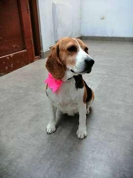 Vendo perrita raza Beagle tricolor