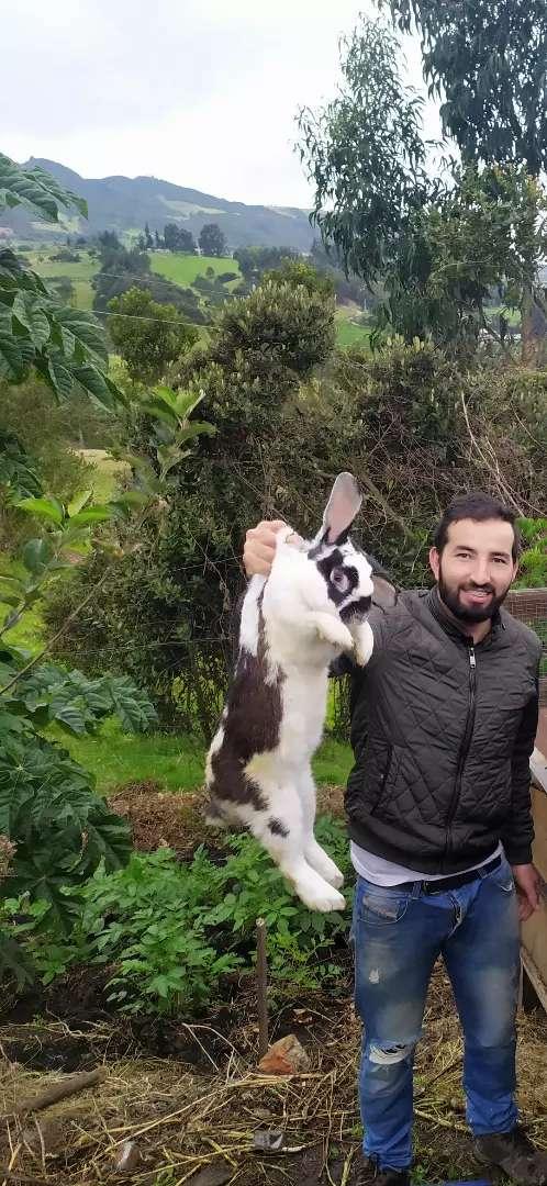 Conejos gigantes 0