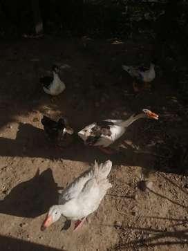 Se vende 3 patos chilenos y una gansa