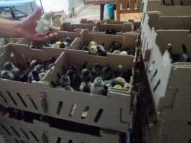Pollitas criollas ponedoras huevos color con envio