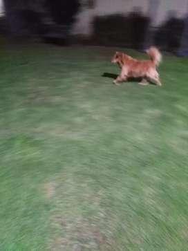 Perrito raza golden retriver, buzca hogar en adopcion